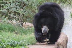för melursusnamn för björn latinsk ursinus för sloth royaltyfri foto