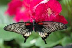 för memnonmormon för 2 blomma stor red för papilio royaltyfri fotografi
