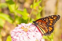 för migratingmonark för fjäril matande zinnia arkivbilder