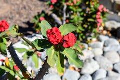 För Milii för KristusväxtEuphorbia röd blomma whit arkivbilder