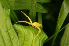 för misumenaspindel för krabba goldenrod vatia Royaltyfria Foton