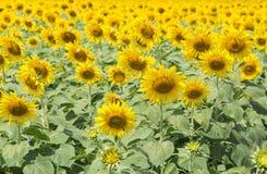 för mittfält för bi yellow för solros för sun för sommar för ljus blomma sen Royaltyfri Foto