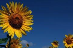 för mittfält för bi yellow för solros för sun för sommar för ljus blomma sen royaltyfri fotografi