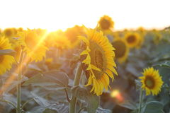 för mittfält för bi yellow för solros för sun för sommar för ljus blomma sen Arkivbild
