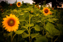 för mittfält för bi yellow för solros för sun för sommar för ljus blomma sen Royaltyfri Bild