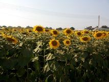 för mittfält för bi yellow för solros för sun för sommar för ljus blomma sen Arkivfoton