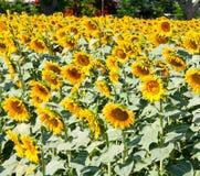 för mittfält för bi yellow för solros för sun för sommar för ljus blomma sen fotografering för bildbyråer