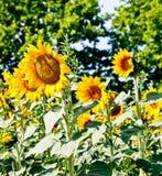 för mittfält för bi yellow för solros för sun för sommar för ljus blomma sen royaltyfria bilder