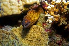 för mohamed för egypt flavimarginatusgymnothorax som ras moray tas yellowmargin Arkivfoto
