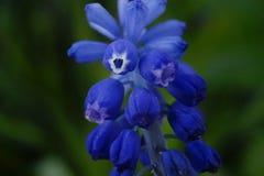 för muscarihyacint för blomma blå trädgård för suddighet för bakgrund för gräsplan för närbild arkivfoton
