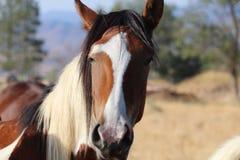 För mustanghäst för Headshot löst amerikanskt kors för Pinto för målarfärg Royaltyfri Foto
