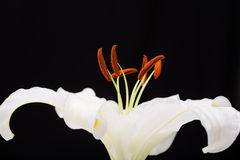 För närbildmakro för vit lilja skott i studio på svart bakgrund Arkivfoton