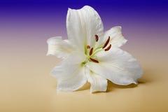För närbildmakroen för den vita liljan skottet i studio på lutning färgar tillbaka Arkivbilder