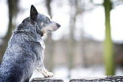 För nötkreaturhund för stående rolig australisk valp i vårsnöbackgrou royaltyfri foto