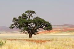 för namibia för acacia afrikansk tree sossusvlei Fotografering för Bildbyråer