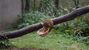 För namnsaimirien för den lilla apan den latinska sciureusen äter på trästammen Gullig apa som bor naturligt i den Sydamerika reg arkivfilmer