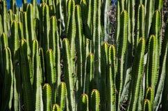 För naturcloseup för kaktus grön canariensis Tenerife, kanariefågelöar för Euphorbia för växt arkivbild