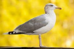 För naturdjur för Seagull gul fågel Arkivbild