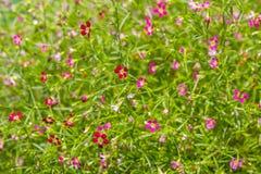 För naturträdgård för härlig färgrik rosa röd blomma blommande blomning för gräsplan arkivfoto