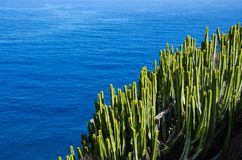 För naturväxt för kaktus grön canariensis för Euphorbia för spurge och hav, Tenerife, kanariefågelöar arkivfoto