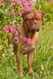 för nederlagphlox för buske trädgårds- pup för pink arkivfoton