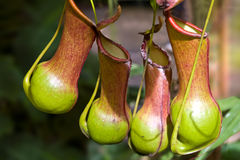 för nepentheskanna för burkei carnivorous växt arkivfoto
