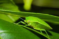 för nezarasköld för fel grön viridula för stank Royaltyfria Foton