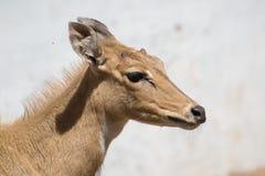 För Nilgaiantilop för blå tjur profil för sida för Closeup royaltyfri fotografi