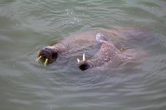 För Odobenusrosmarus för två atlantiska valrossar rosmarus Royaltyfria Foton