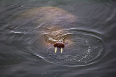 För Odobenusrosmarus för två atlantiska valrossar rosmarus Royaltyfria Bilder