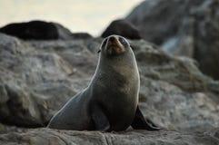 För Ohau för pälsskyddsremsor punkt sikt, Kaikoura Fotografering för Bildbyråer
