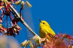 för ontario för Kanada läge nationell yellow för sångare för punkt för pelee park Arkivbild