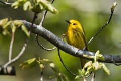 för ontario för Kanada läge nationell yellow för sångare för punkt för pelee park Fotografering för Bildbyråer