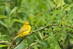 för ontario för Kanada läge nationell yellow för sångare för punkt för pelee park Arkivbilder