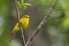 för ontario för Kanada läge nationell yellow för sångare för punkt för pelee park Royaltyfri Fotografi