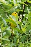 för ontario för Kanada läge nationell yellow för sångare för punkt för pelee park Arkivfoton