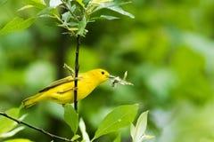 för ontario för Kanada läge nationell yellow för sångare för punkt för pelee park Arkivfoto
