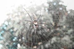 För Orb-vävare för mjuk fokus guld- spindel Nephila maculata royaltyfri foto