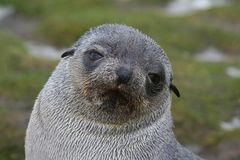 för pälspup för Antarktis antartic skyddsremsa Royaltyfri Fotografi