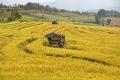 För Pak för risfältfält chiangmaien för sting bung Arkivbild