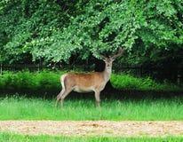 för parkred för hjortar engelsk fullvuxen hankronhjort Arkivbild