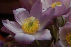 För pasqueblomma för lila gul makro Arkivfoton