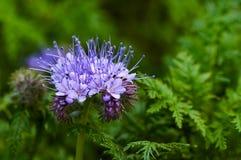 För phaceliatanacetifolia för grön gödsel blomma och skörd royaltyfri foto