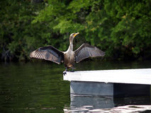 för phalacrocoraxspread för auritus cormorant krönade dubbla vingar Royaltyfri Foto