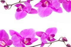 för Phalaenopsisorkidé för härlig ram som purpurfärgade blommor isoleras på vit bakgrund arkivfoton