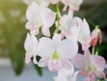 För Phalaenopsisorkidé för selektiv fokus vit blom för blomma under vinter eller vårdag i tropisk trädgård på blom- bakgrund royaltyfri bild