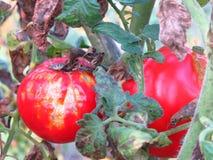 För Phytophthora Infestans för sent fördärv sjukdomar för växt gemensamma tomat arkivfoto