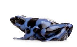 för pildendrobates för aura svart blått gift för groda arkivbild