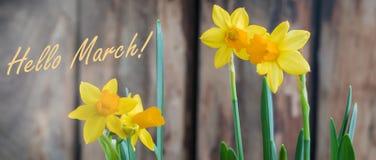 För pingstliljaod för våren marscherar den gula påskliljan över träbakgrunden, hälsning banret