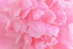 För pionblomma för anbud våt rosa makro royaltyfria bilder